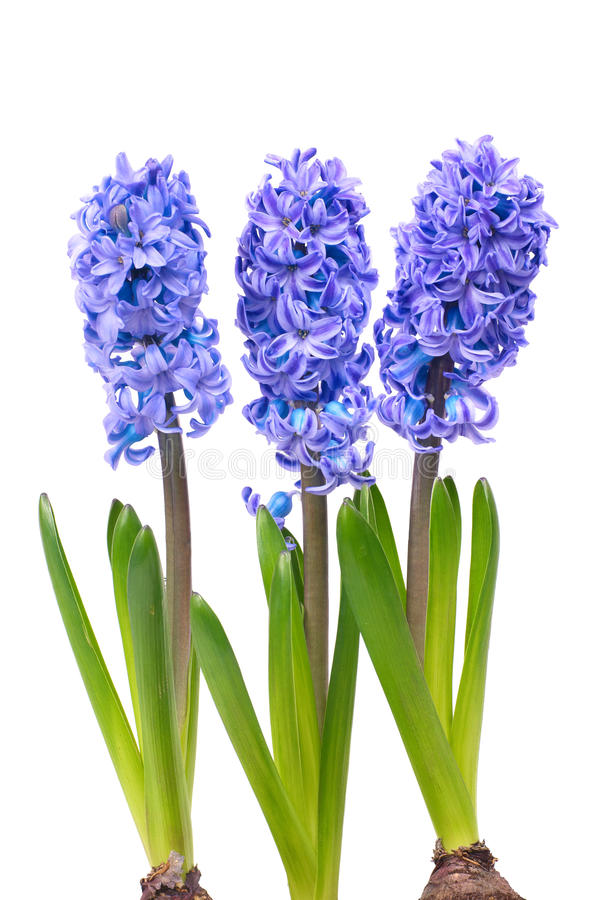 Hyacinthes bleus image libre de droits