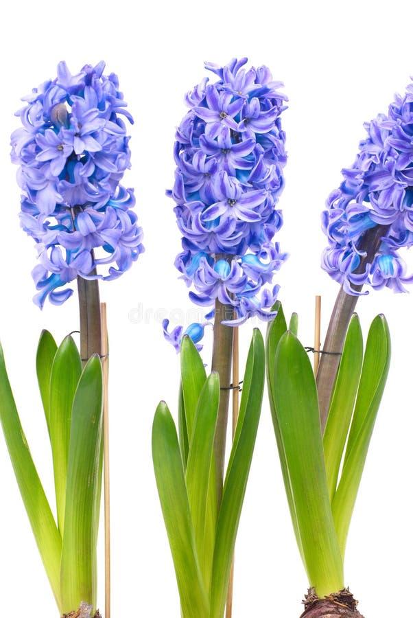 Hyacinthes bleus image stock