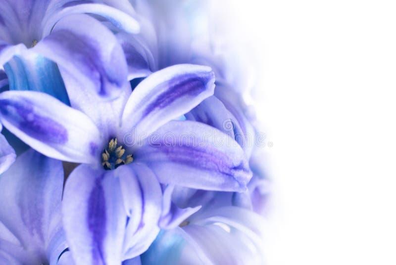 Hyacinthes bleus images libres de droits