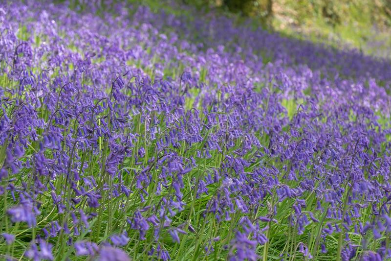 hyacinthoides紫罗兰色花在沼地的 免版税库存照片