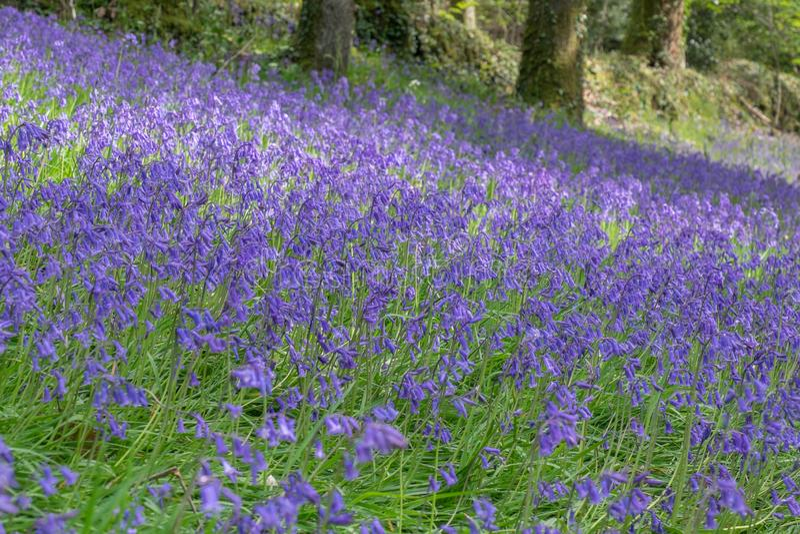 hyacinthoides紫罗兰色花非scripta在沼地 免版税库存图片
