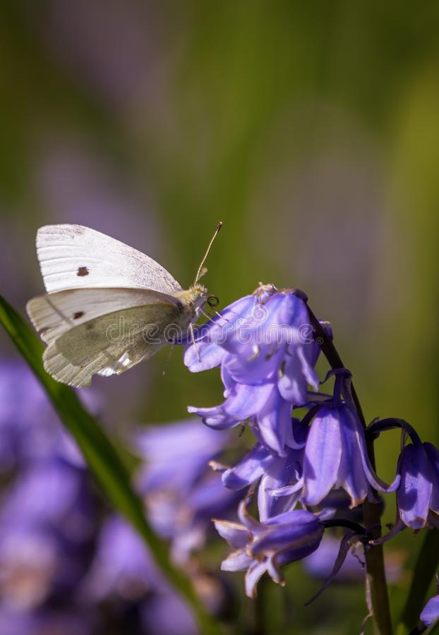 Hyacinthoides non-scripta and Pieris rapae royalty free stock images