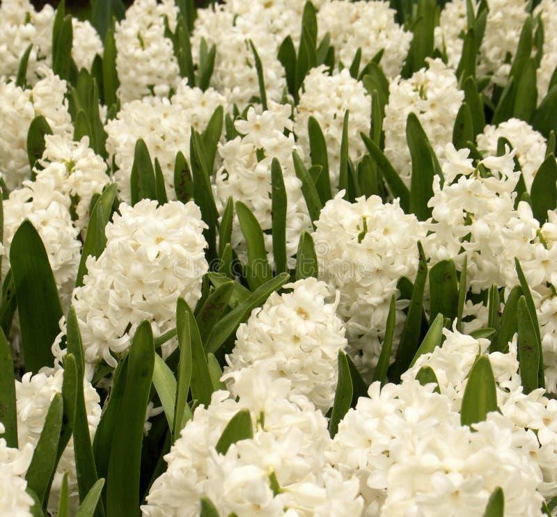 Hyacinths imagens de stock
