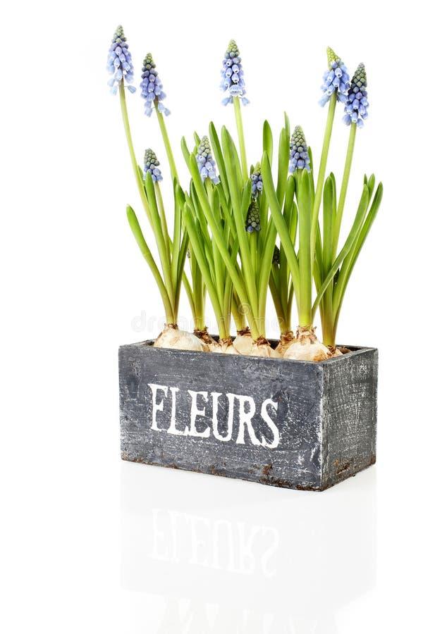 Hyacinths azuis da pérola foto de stock