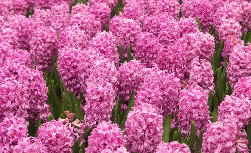 Hyacinths cor-de-rosa foto de stock