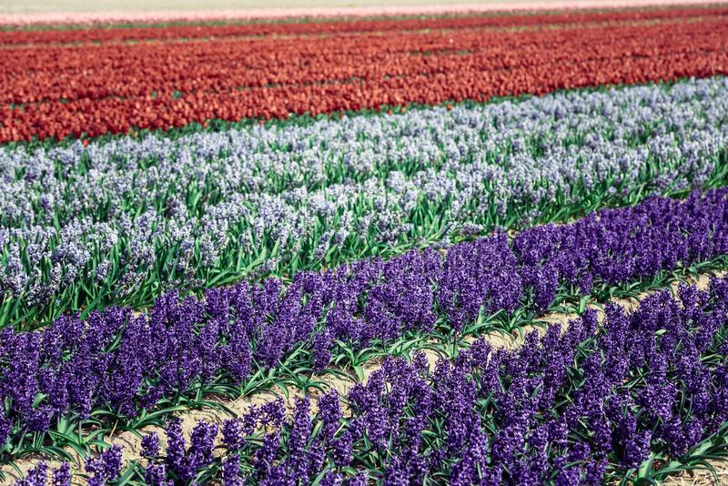 Hyacinths field in the Netherlands royalty free stock images