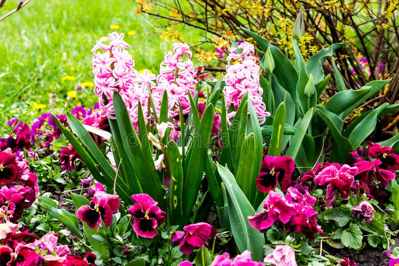 Hyacinths flowers spring royalty free stock images