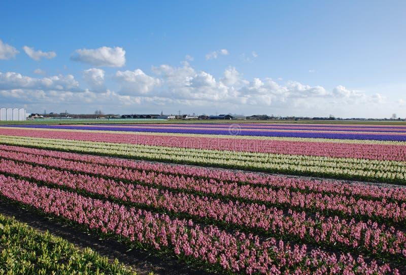 hyacinths Holland dos bulbo-campos imagem de stock