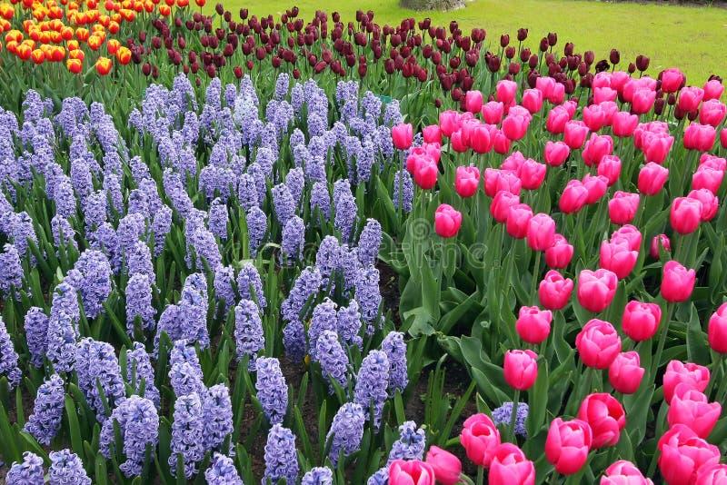 Hyacinths and tulips stock photos