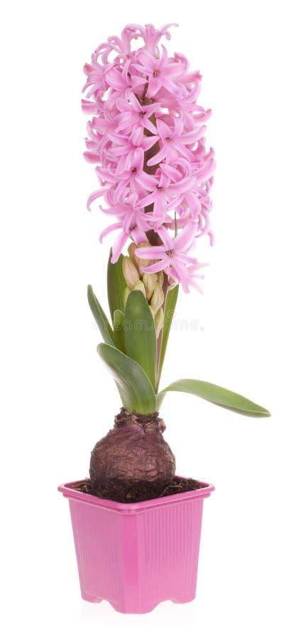 hyacinthus стоковая фотография