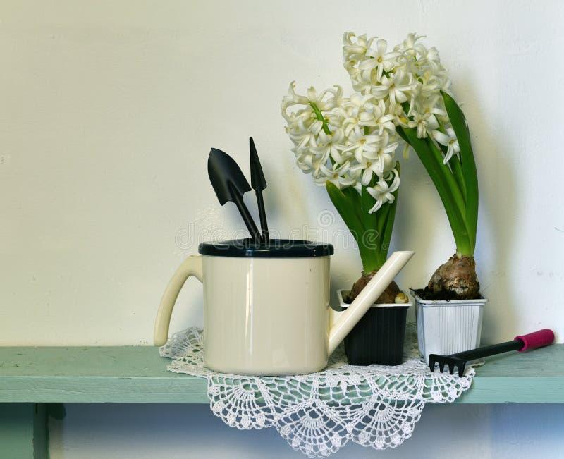 Hyacinthus bianco due con l'annaffiatoio e gli strumenti di giardino sulla plancia di legno immagine stock libera da diritti