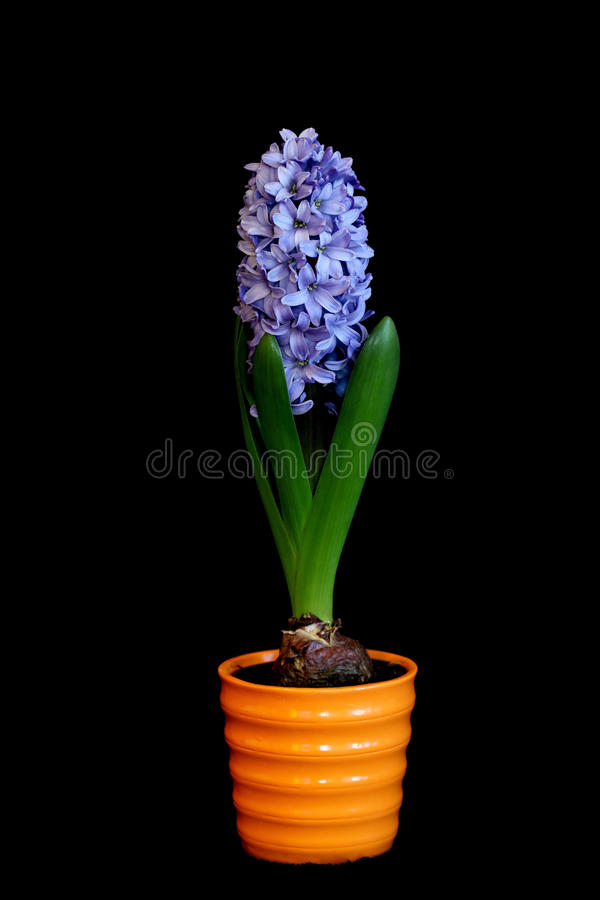 Hyacinthus orientalis - in pot isolated on black stock images
