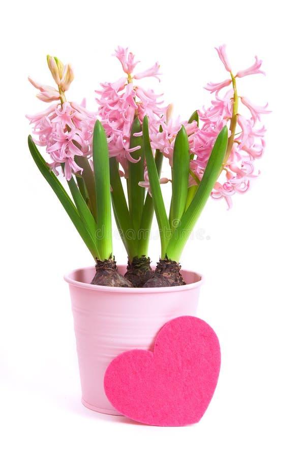 Hyacinthus rosa con il cuore del feltro fotografia stock