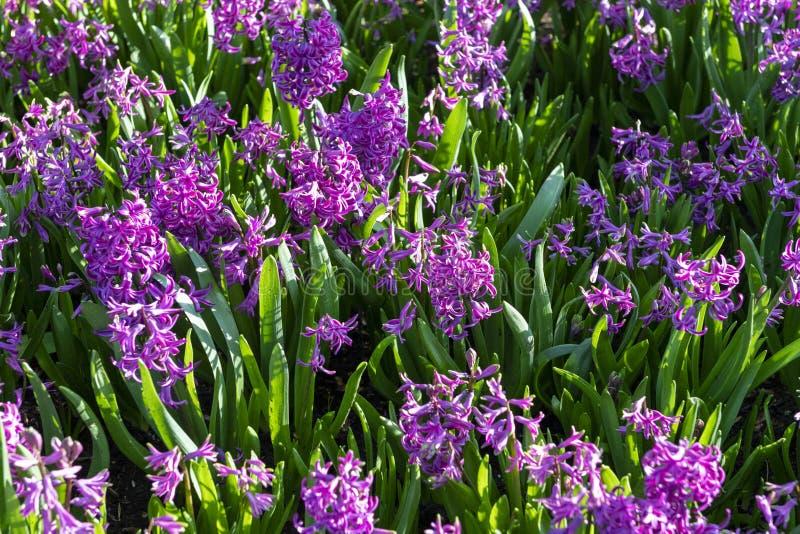 Hyacinthus roxo, orientalis da espécie, jacinto Flores bulbosas da mola atrativa Altamente perfumado fotos de stock