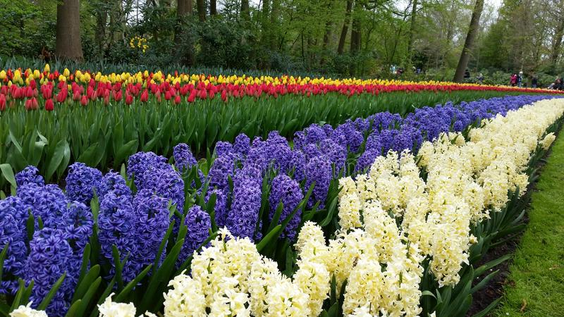 Hyacinthus and tulips artistic colors stock image