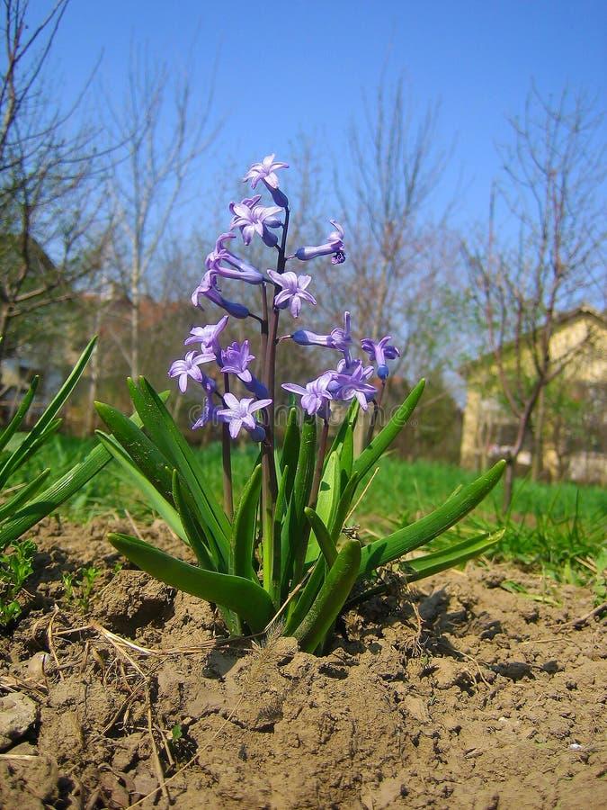 Hyacinthus, violette kleine Klasse von Knollen-, wohlriechenden Blütenpflanzen stockfoto