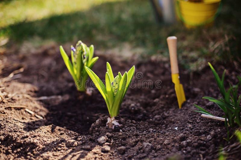 Hyacintkulor som planteras för att arbeta i trädgården säng i solig dag för vår royaltyfria foton