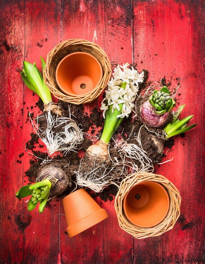 Hyacintpotting, die op rode houten samenstellen garten lijst royalty-vrije stock fotografie