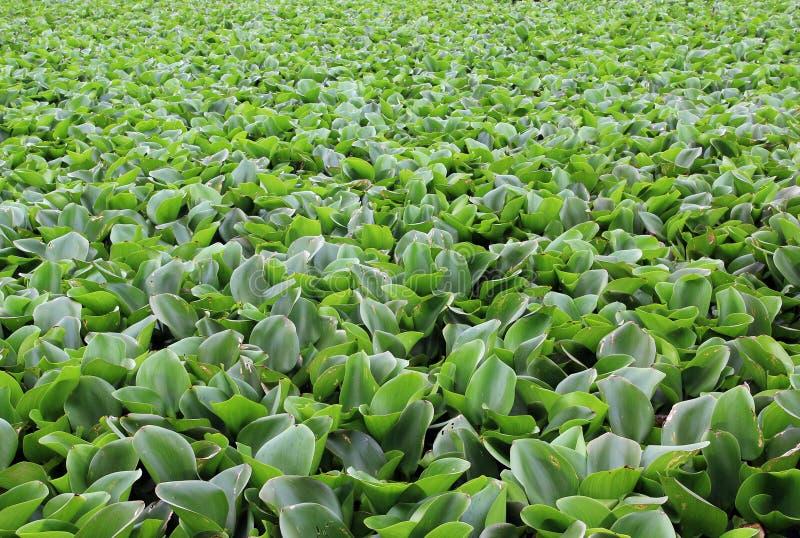 hyacintvatten arkivbild