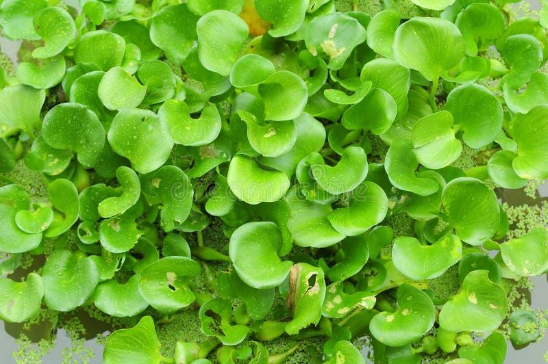 hyacintvatten arkivbilder