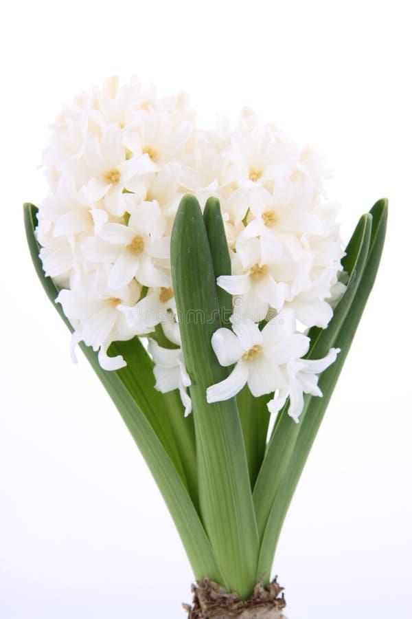 hyacintwhite fotografering för bildbyråer