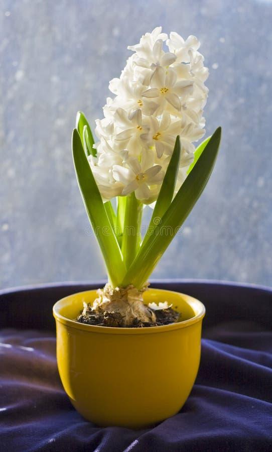 hyacintwhite royaltyfri bild
