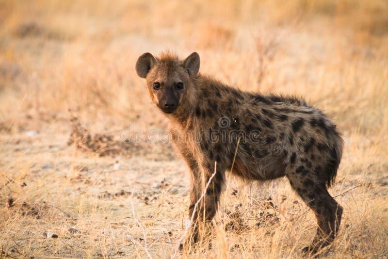 hyaena arkivbilder