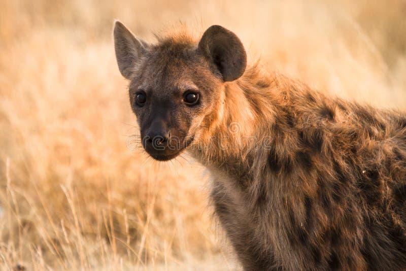 hyaena стоковая фотография