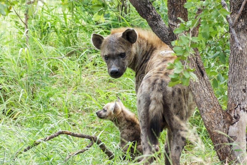 Hyaena avec sa progéniture étant très vigilante photos libres de droits