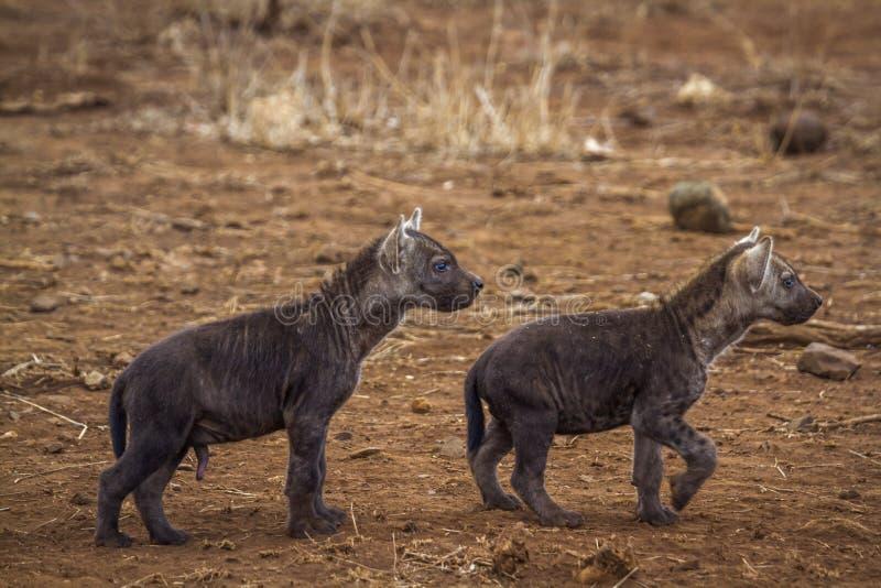 Hyaena manchado en el parque nacional de Kruger, Suráfrica foto de archivo