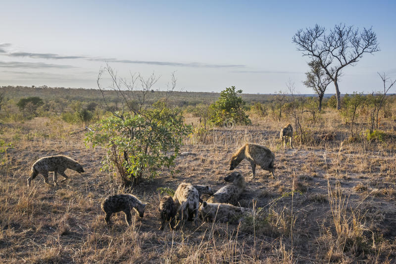 Hyaena manchado en el parque nacional de Kruger, Suráfrica imágenes de archivo libres de regalías