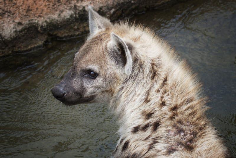 Hyaena manchado selvagem no beira-rio imagem de stock royalty free