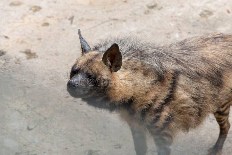 Hyaena rayé photos libres de droits