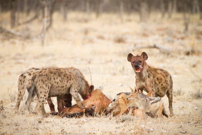 hyaenas стоковые изображения rf
