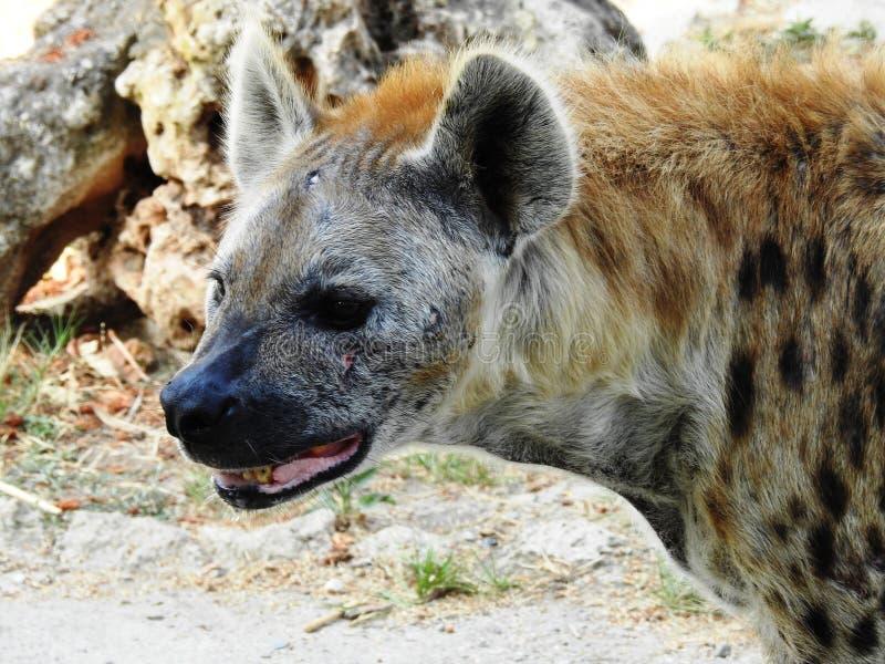 Hyaenidae, Hiena. Hyaenidae Hiena, Kalahari Desert, South Africa stock image