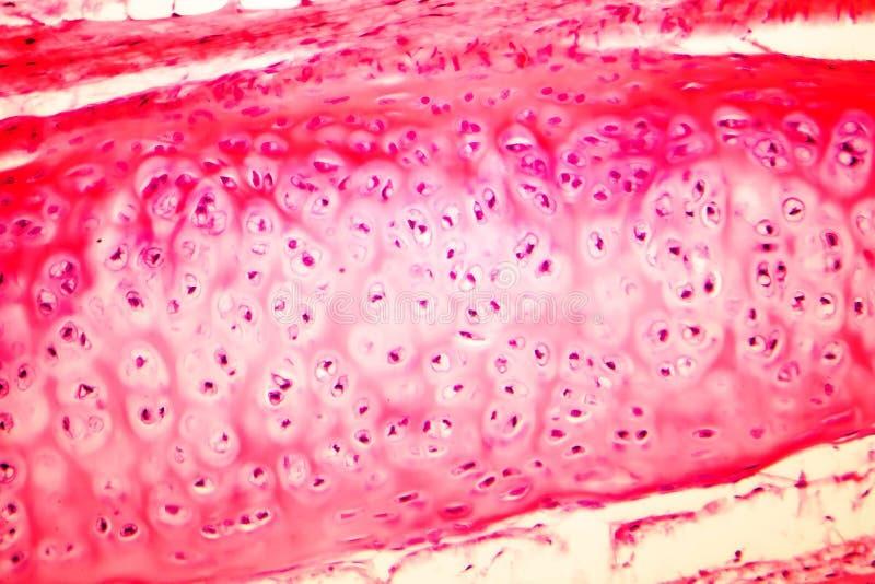 Hyaline cartilage ludzka dychawka zdjęcie royalty free