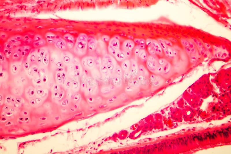 Hyaline kraakbeen van menselijke trachee stock afbeeldingen