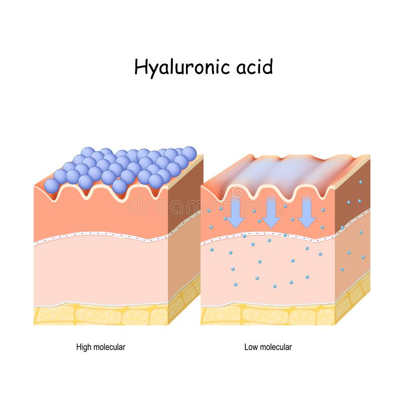 Hyaluronic acid in skin-care products. Low molecule and High molecular. Hyaluronic acid. Hyaluronic acid in skin-care products. Low molecule and High molecular vector illustration