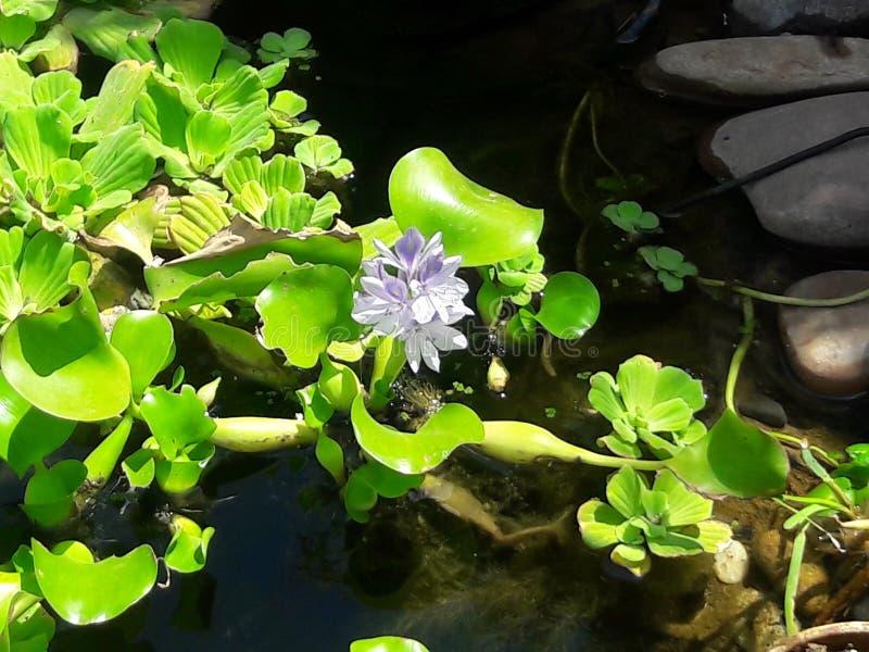 Hyancithe da água imagem de stock royalty free