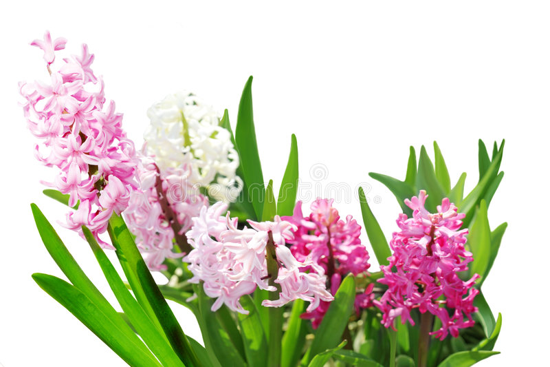 Hyazinthe blüht Anlagen lizenzfreie stockbilder