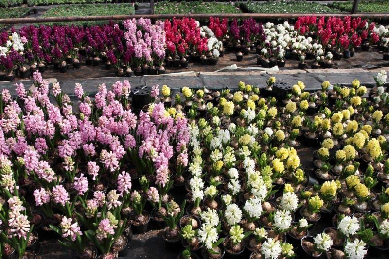 Hyazinthe Feld des bunten Frühlinges blüht Hyazinthenanlagen in den Töpfen mit Birnen im Gewächshaus auf Sonnenlicht für Verkauf  stockfotos