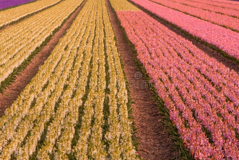 Hyazinthe in Holland stockbild