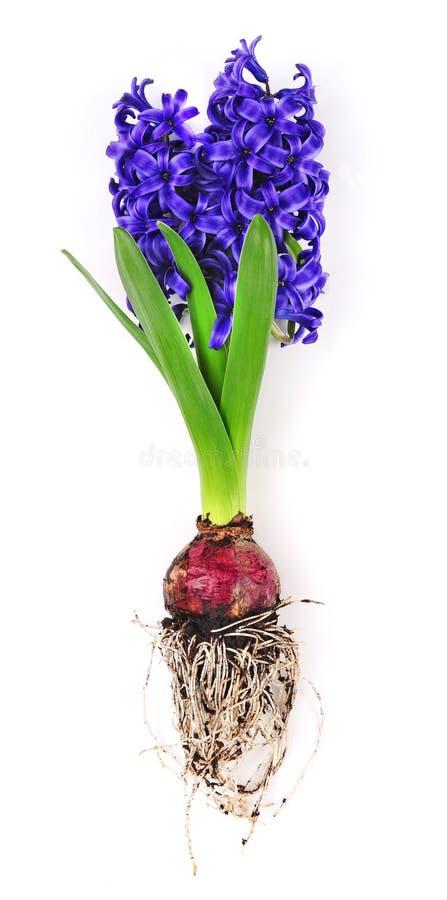 Hyazinthe mit Blumenzwiebel und Wurzeln stockfoto