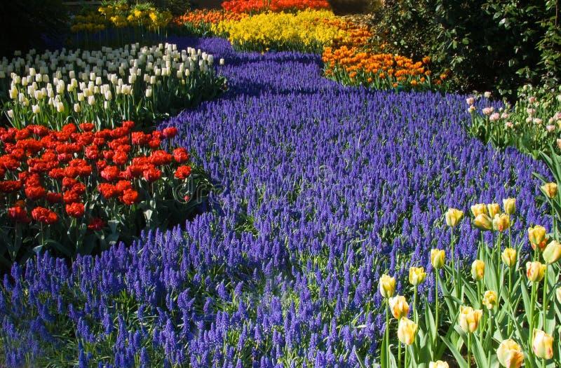 Download Hyazinthefluß Der Geläufigen Traube Des Blaus Stockfoto - Bild von bunt, leuchte: 9085652