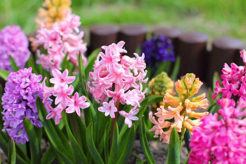 Hyazinthen, die im Garten blühen stockbild