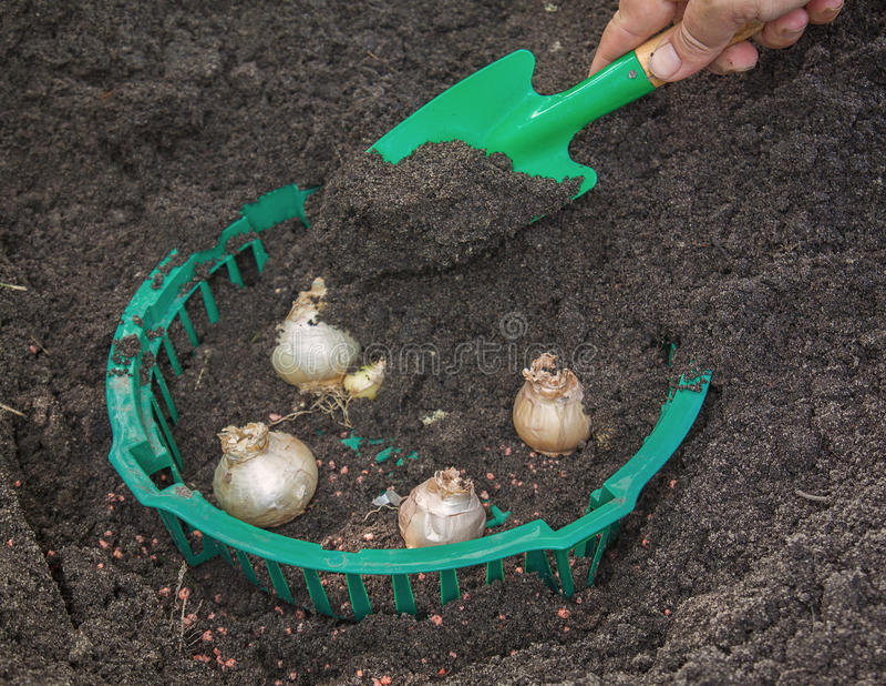 Hyazinthen in einem Korb für das Pflanzen von Birnen stockbild
