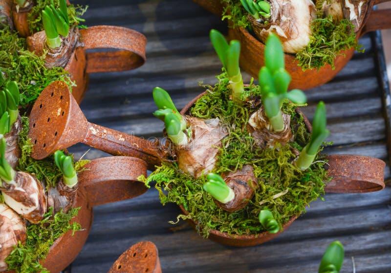 Hyazinthenbirnen in den rostigen Töpfen für das Pflanzen der Feder lizenzfreie stockfotografie