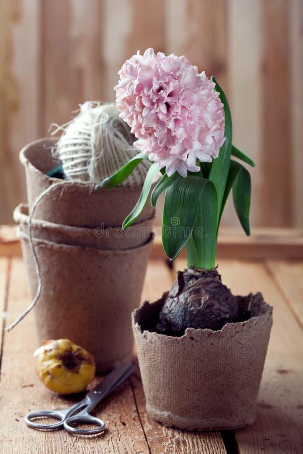 Hyazinthenblumen in den kompostierbaren Töpfen und in den Blumenzwiebeln lizenzfreies stockbild