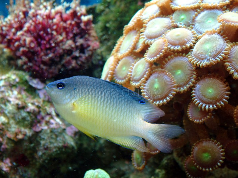 A Hybrid Damsel Fish. Hybrid damsel up close, with,neon button polyps in the background royalty free stock images