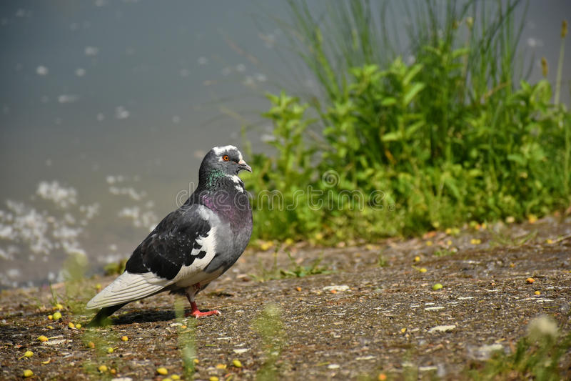 The Hybrid Dove royalty free stock photo